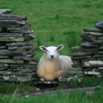 Burren Lamb